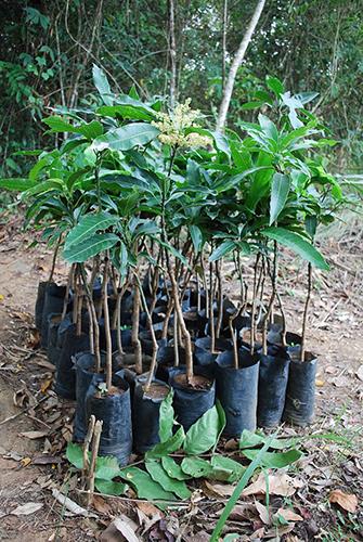mango_plants